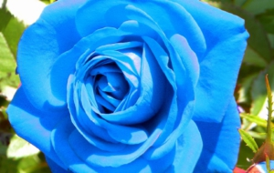 Blue Rose High Quality Wallpapers