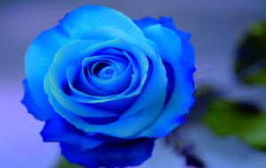 Blue Rose Images