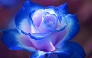 Blue Rose Widescreen