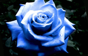Blue Rose Full HD