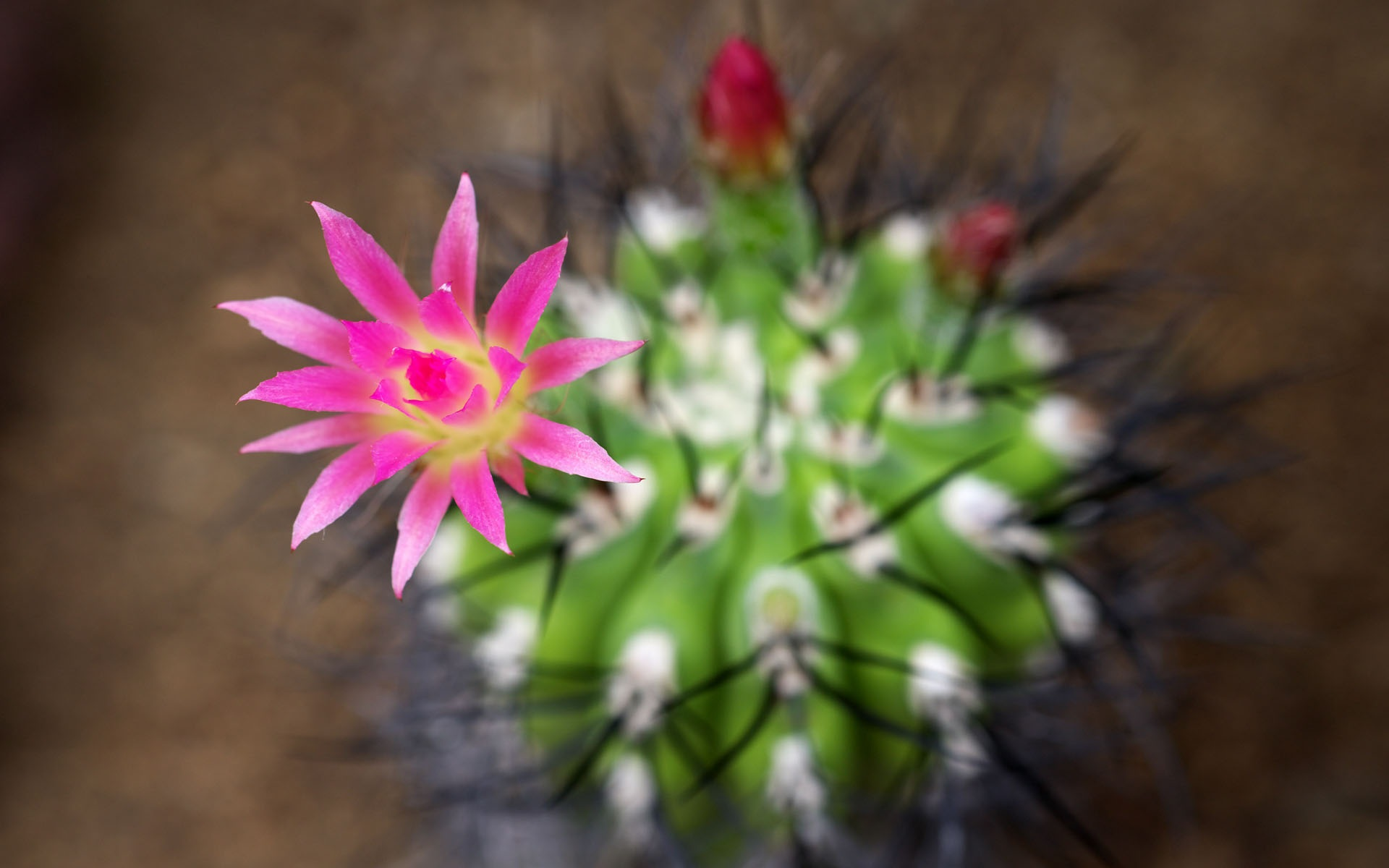 cactus flowers hd wallpapers