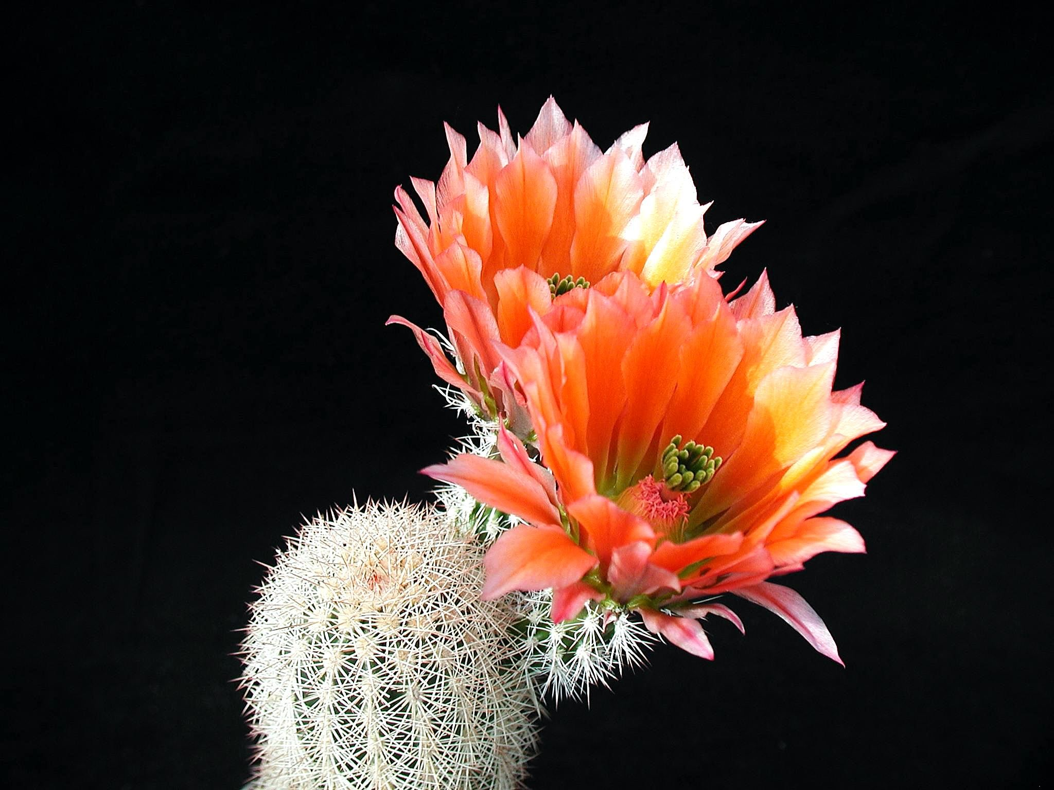 hd cactus wallpapers - photo #49