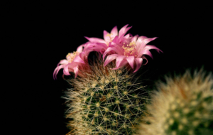 Cactus Flowers Photos