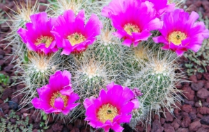 Cactus Flowers Wallpapers