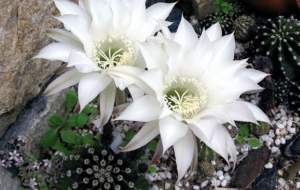 Cactus Flowers Full HD