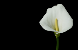 Calla Flower Wallpapers