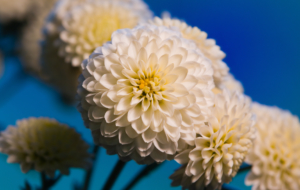 Chrysanthemum High Definition