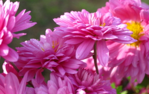 Chrysanthemum High Quality Wallpapers