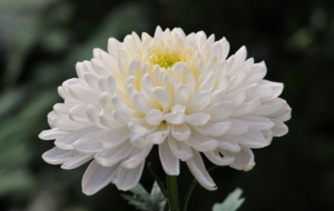 Chrysanthemum Wallpaper