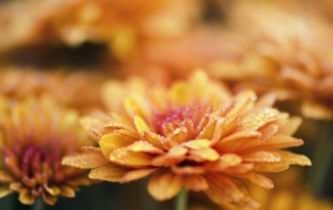 Chrysanthemum Wallpapers HD