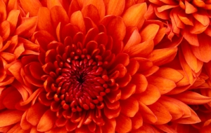 Chrysanthemum Widescreen