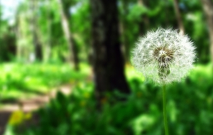 Dandelion HD Wallpaper