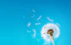 Dandelion High Quality Wallpapers