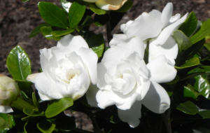 Gardenia HD Wallpaper
