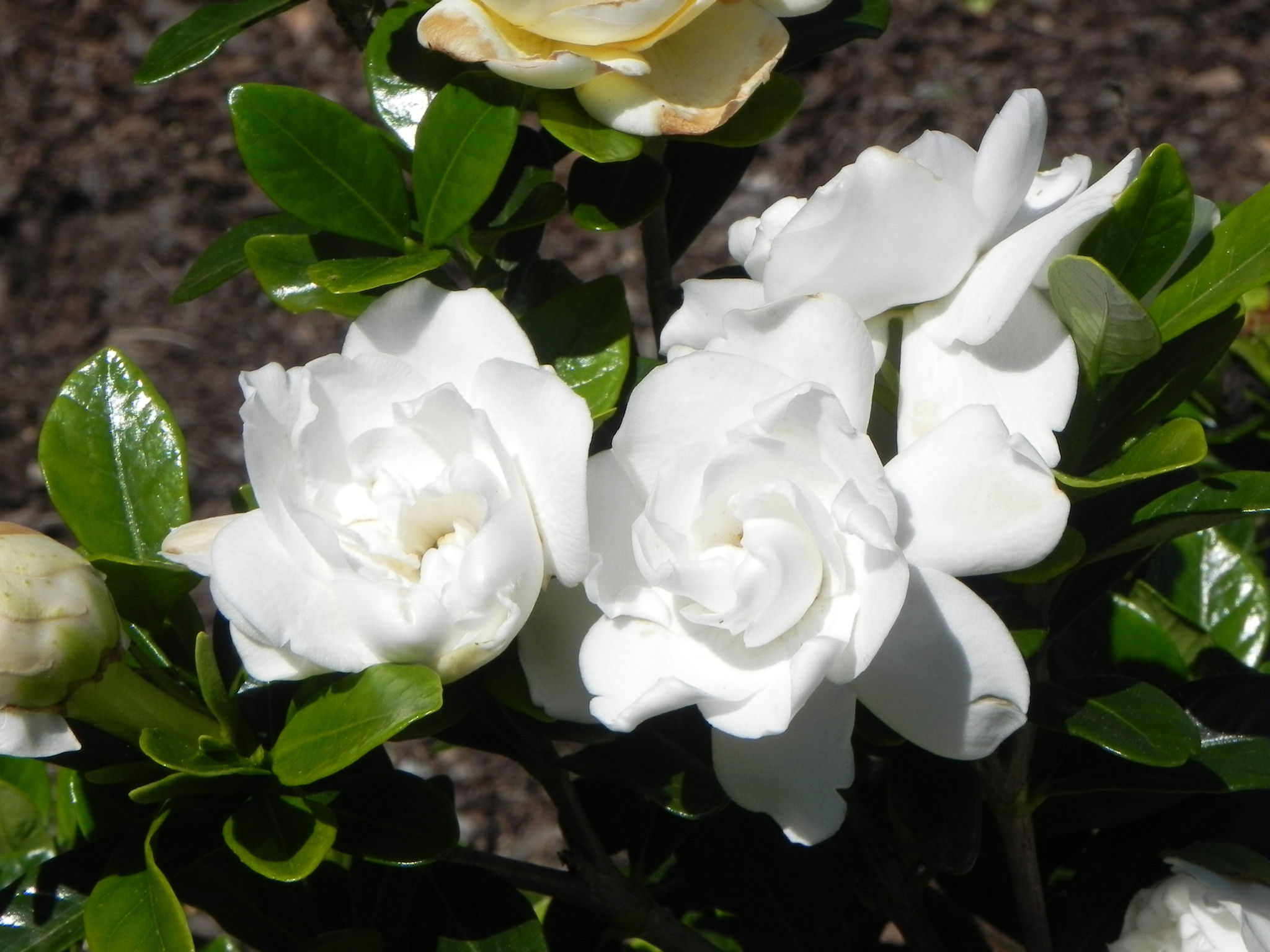 gardenia hd wallpapers, Beautiful flower