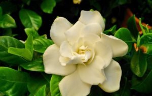 Gardenia High Definition Wallpapers