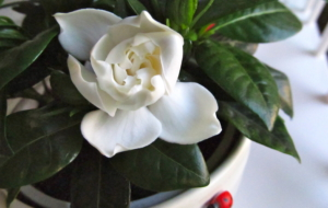 Gardenia Wallpapers HD