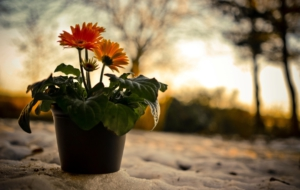 Gerbera HD Background