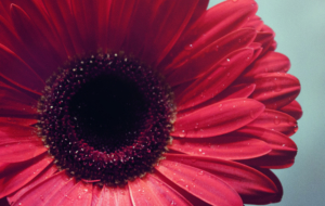 Gerbera Photos