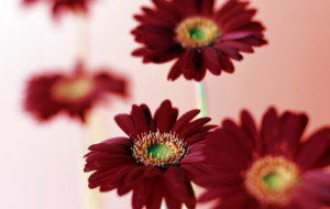 Gerbera Wallpapers HD