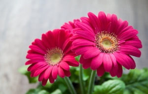 Gerbera Widescreen