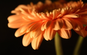 Gerbera For Desktop