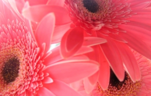 Gerbera Full HD