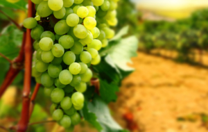 Grapes High Quality Wallpapers