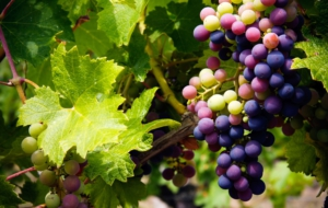 Grapes Widescreen