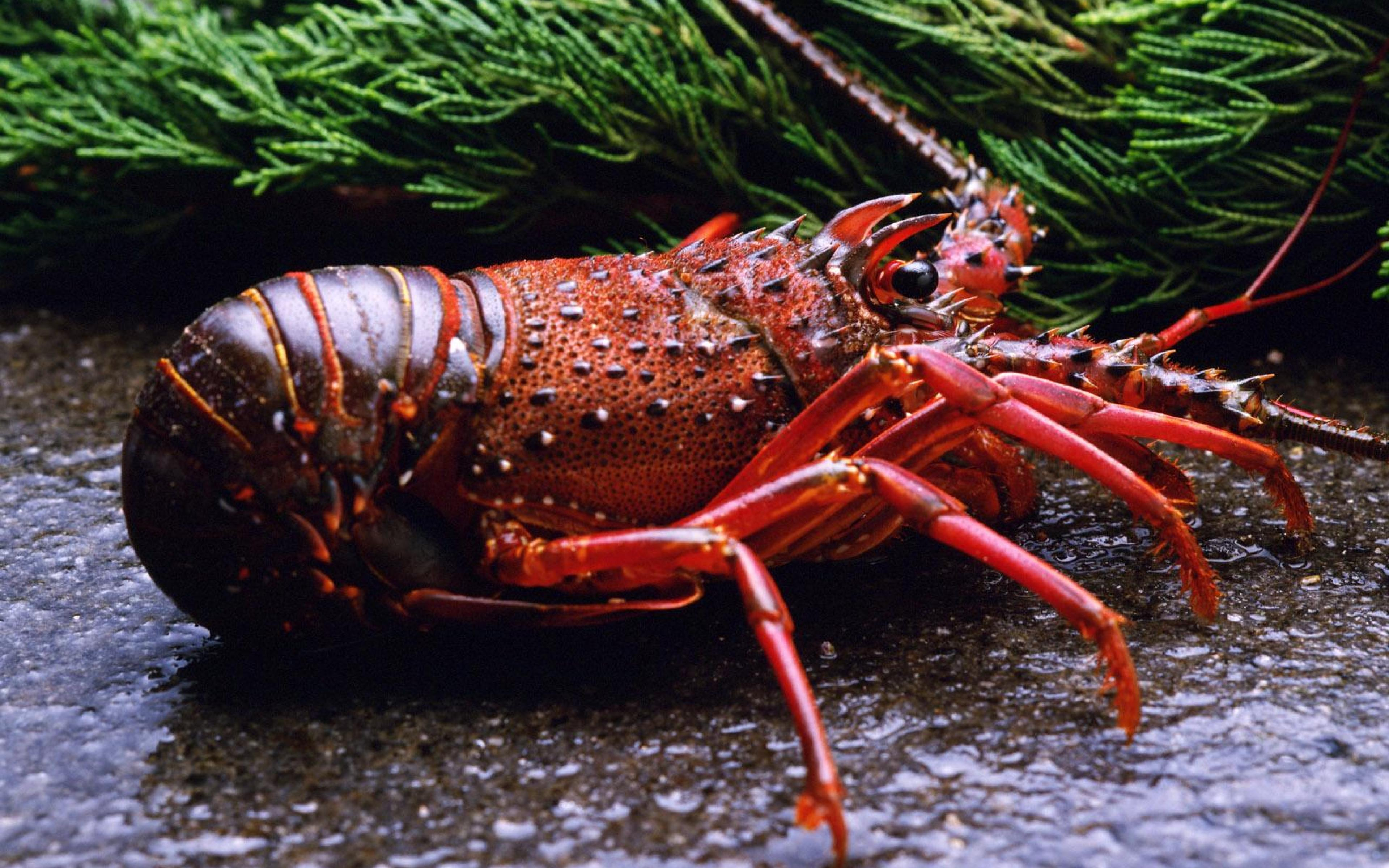 Lobster HD Wallpapers