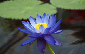 Lotus HD Wallpaper