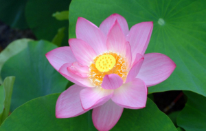 Lotus High Quality Wallpapers