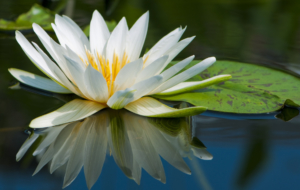 Lotus Pictures