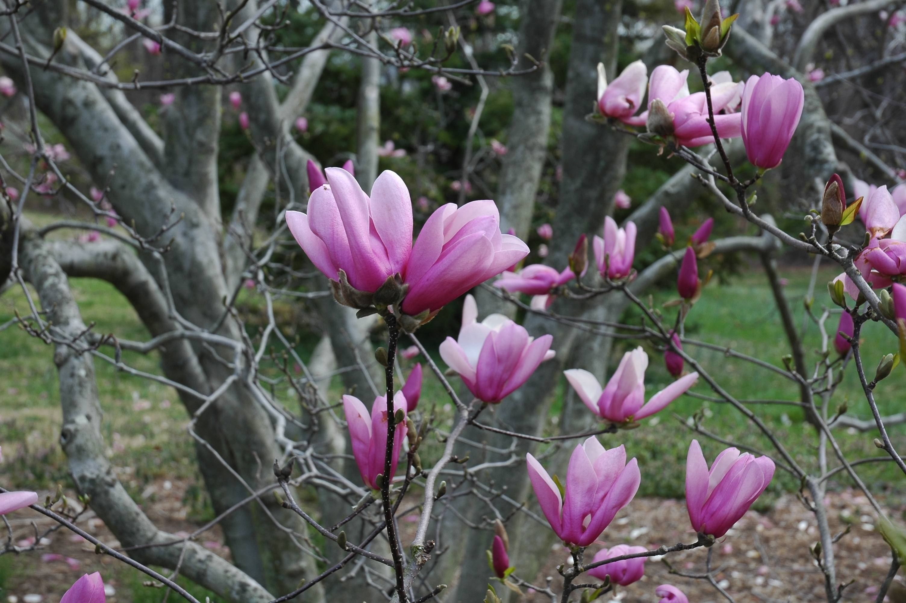 Magnolia Hd Wallpapers