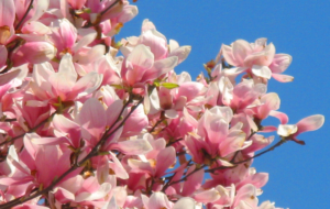 Magnolia Photos