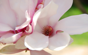 Magnolia Widescreen