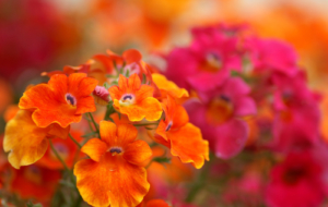 Orange Flower Full HD
