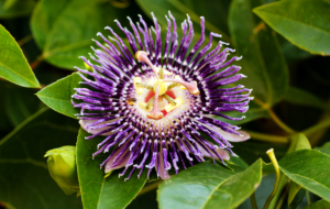 Passion Flower Desktop