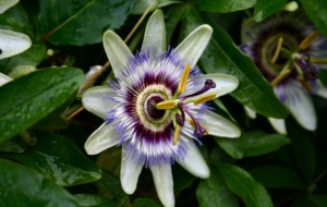 Passion Flower High Quality Wallpapers
