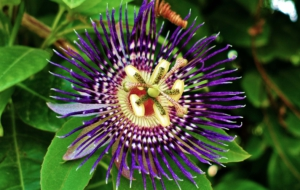 Passion Flower Images