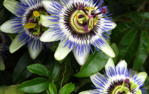 Passion Flower Photos