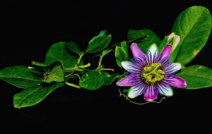 Passion Flower Wallpaper
