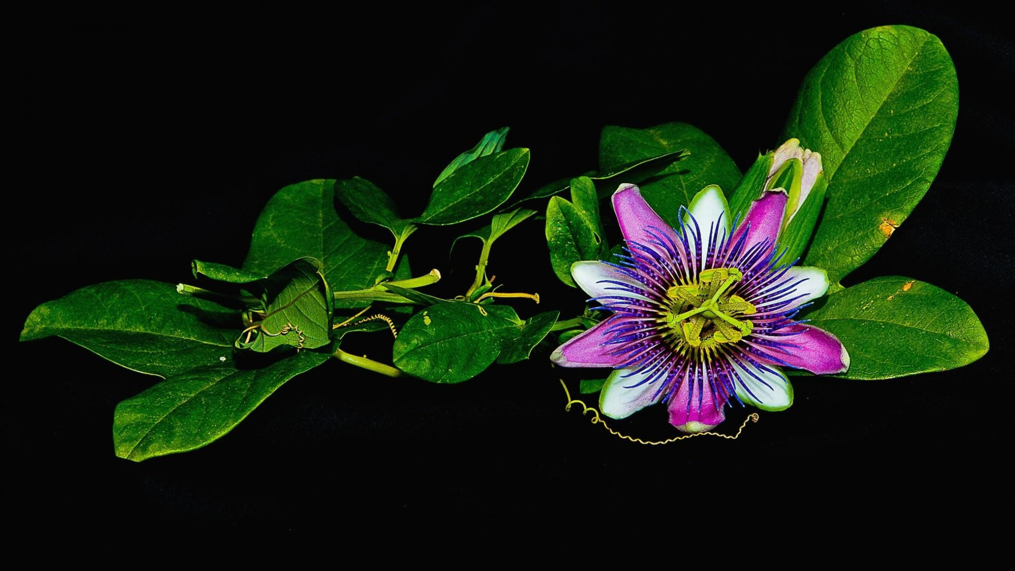 Hd Flower Backgrounds: Passion Flower HD Wallpapers