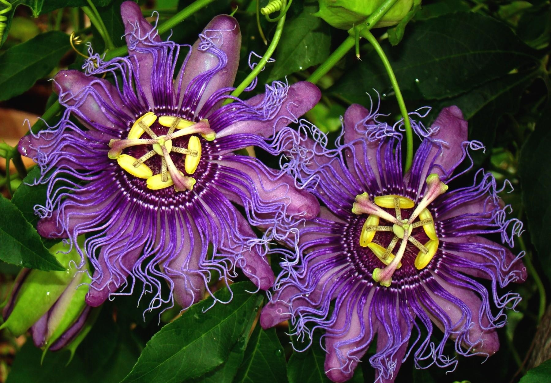 Passion Flower Wallpapers Hd