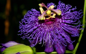 Passion Flower Widescreen