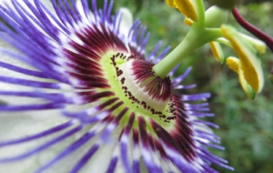 Passion Flower Full HD