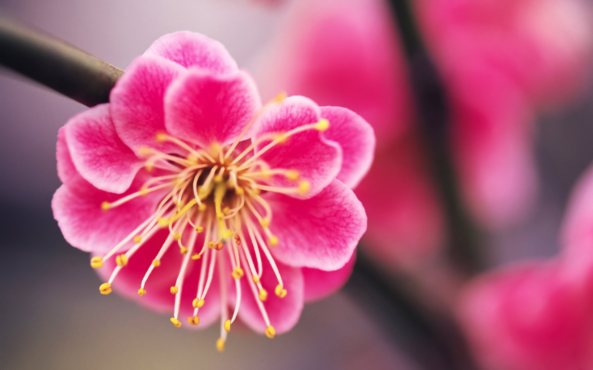Peach flowers hd wallpapers - Beautiful flower images wallpapers ...