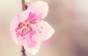 Peach Flowers HD