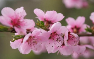 Peach Flowers High Definition