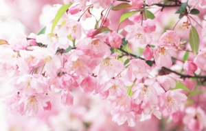 Peach Flowers High Definition Wallpapers